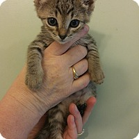 Adopt A Pet :: Obi Wan - Bryson City, NC