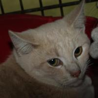Domestic Shorthair/Domestic Shorthair Mix Cat for adoption in Robinson, Illinois - mike