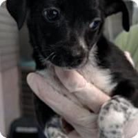 Adopt A Pet :: Mini Annie - Freeport, FL