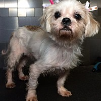 Adopt A Pet :: Lilac - McKinney, TX