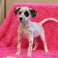 Adopt A Pet :: Tory - Los Angeles, CA