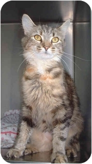 Domestic Mediumhair Cat for adoption in Honesdale, Pennsylvania - Snickers