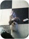 Shih Tzu Mix Puppy for adoption in Brookline, Massachusetts - Gabrielle ~Adoption Pending~