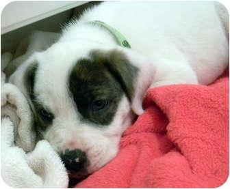 American Bulldog Mix Puppy for adoption in Marietta, Georgia - Comet