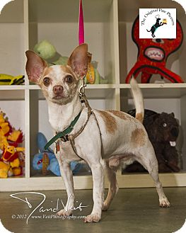 Chihuahua Mix Dog for adoption in San Diego, California - Kiko
