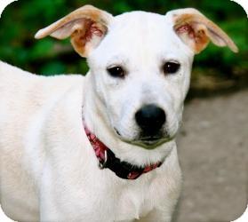 Carolina Dog/Labrador Retriever Mix Puppy for adoption in Hastings, New York - Lolly