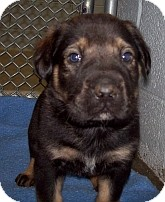 Shepherd (Unknown Type)/Shar Pei Mix Puppy for adoption in Silver City, New Mexico - Moppy