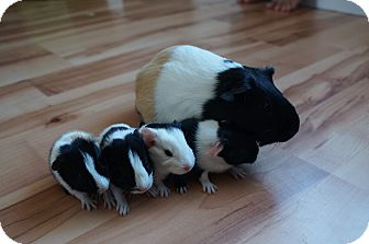 Guinea Pig for adoption in Brooklyn Park, Minnesota - Izzy