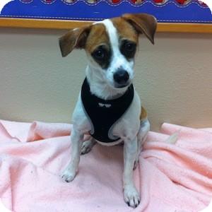 Chihuahua Mix Dog for adoption in Gilbert, Arizona - Jomax