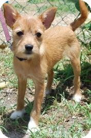 Chihuahua/Terrier (Unknown Type, Small) Mix Puppy for adoption in Bradenton, Florida - Hildy