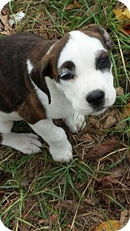 Boxer/Terrier (Unknown Type, Medium) Mix Puppy for adoption in Media, Pennsylvania - Farrah
