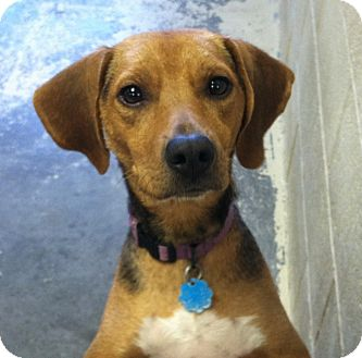 Beagle Mix Dog for adoption in Greensburg, Pennsylvania - Cookie