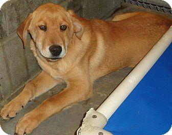 Labrador Retriever/Retriever (Unknown Type) Mix Dog for adoption in Wappingers, New York - Rambler