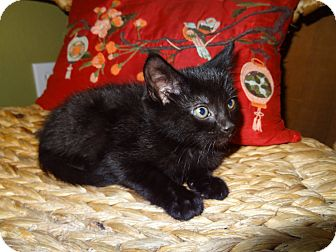 Domestic Shorthair Kitten for adoption in Tillamook, Oregon - Jamyma
