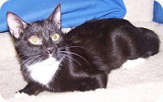 Domestic Shorthair Kitten for adoption in Colorado Springs, Colorado - Carly