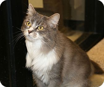 Domestic Longhair Cat for adoption in Plano, Texas - SOFIA - READ HER STORY!!