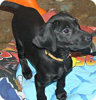 Labrador Retriever Mix Puppy for adoption in waterbury, Connecticut - Taz