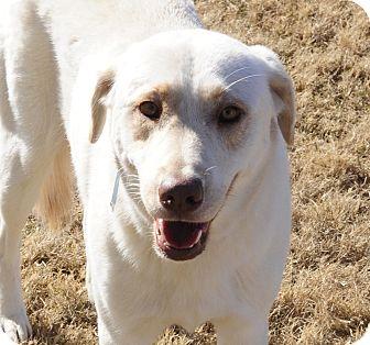 Labrador Retriever Mix Dog for adoption in Rochester, New Hampshire - Chip