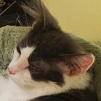 Domestic Mediumhair Cat for adoption in Morgan Hill, California - Gracie