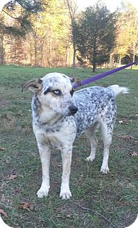 Australian Cattle Dog Dog for adoption in Jefferson, Texas - Dolly