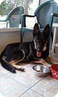 German Shepherd Dog Dog for adoption in Ormond Beach, Florida - Daisy
