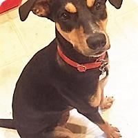 Adopt A Pet :: Bella - North Bend, WA