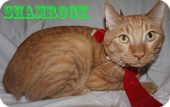 Domestic Shorthair Cat for adoption in Converse, Texas - Shamrock