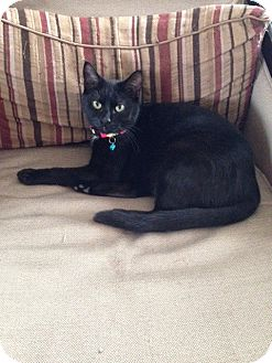 Domestic Shorthair Cat for adoption in Pierrefonds, Quebec - Casey