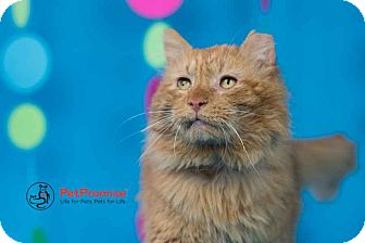 Maine Coon Cat for adoption in Columbus, Ohio - Leo