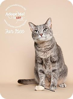 Domestic Shorthair Cat for adoption in Houston, Texas - Fur Gee