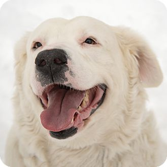 Spaniel (Unknown Type) Mix Dog for adoption in Westfield, New York - Lamb