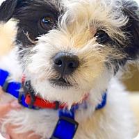Adopt A Pet :: Petey - San Diego, CA