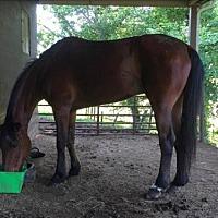 Adopt A Pet :: Kramer (Trottin First M3680) - Gallatin, TN