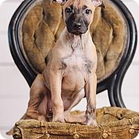 Adopt A Pet :: Jade - Portland, OR