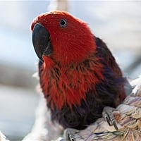 Eclectus for adoption in Elizabeth, Colorado - Leia