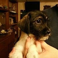 Adopt A Pet :: pumpkin - springtown, TX