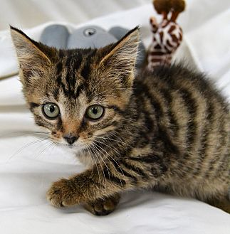 Domestic Shorthair Kitten for adoption in Michigan City, Indiana - Peggy