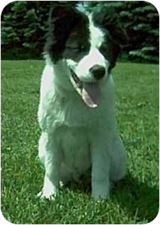 Great Pyrenees/Border Collie Mix Dog for adoption in Harlan, Iowa - Bear - URGENT
