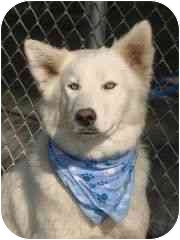 Siberian Husky Dog for adoption in Horsham, Pennsylvania - TEX