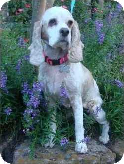 Cocker Spaniel Dog for adoption in Sugarland, Texas - Ginger