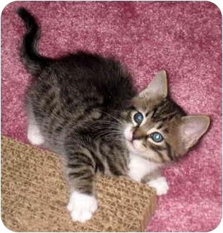 Domestic Shorthair Kitten for adoption in Troy, Michigan - Maynard