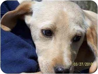 Labrador Retriever/Italian Greyhound Mix Puppy for adoption in York, South Carolina - Jose'