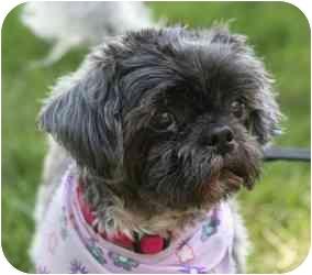Shih Tzu Mix Dog for adoption in Wayne, New Jersey - Fran