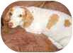 Dachshund Dog for adoption in Georgetown, Kentucky - Dottie