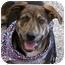 Photo 4 - German Shepherd Dog/Hound (Unknown Type) Mix Puppy for adoption in Sacramento, California - Klyde best pup