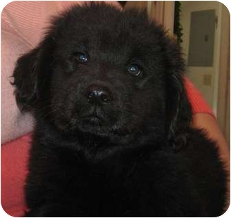 Labrador Retriever/Chow Chow Mix Puppy for adoption in Hammonton, New Jersey - woody