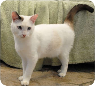 Siamese Cat for adoption in Palmdale, California - Cookie