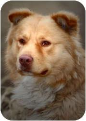 Chow Chow Mix Dog for adoption in Olathe, Kansas - Bogart