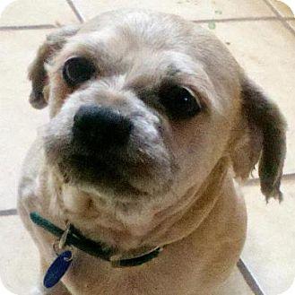 Lhasa Apso Mix Dog for adoption in Salem, Oregon - Preston