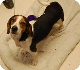 Beagle Mix Dog for adoption in Richmond, Virginia - Becky